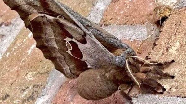 """Las """"tarántulas con alas"""" que atemorizan a mexicanos y norteamericanos"""